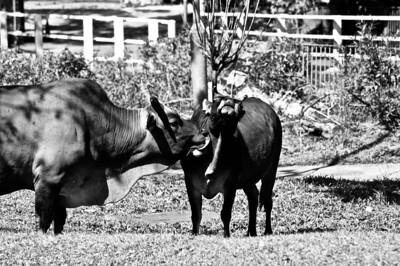 Cows HK