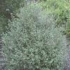 Pittosporum tenuifolium 'Silver Sheen'