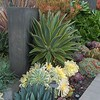 Mixed agaves succulents & Mediterraneans