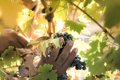 Mendo-Harvest-Beckstoffer-11