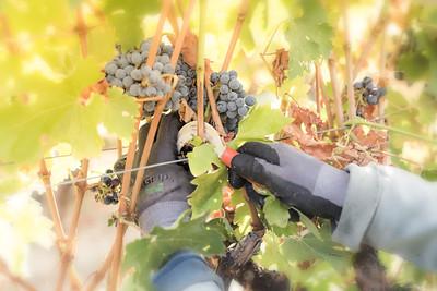 Mendo-Harvest-Beckstoffer-08