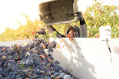 Mendo-Harvest-Beckstoffer-07