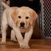 Bogart the yellow lab puppy.