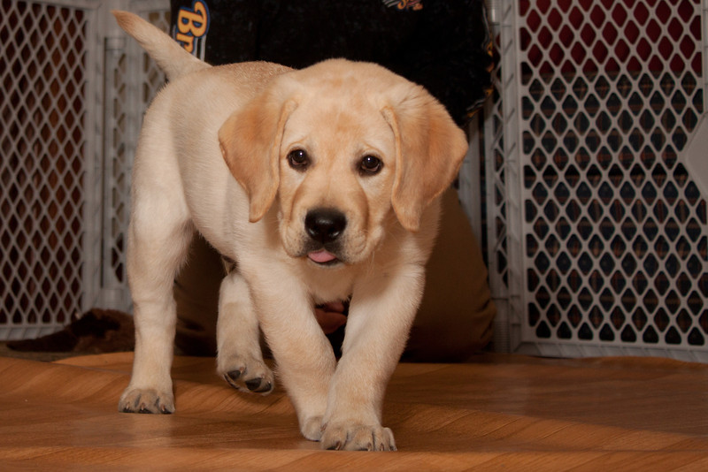 Bogart the yellow lab puppy.