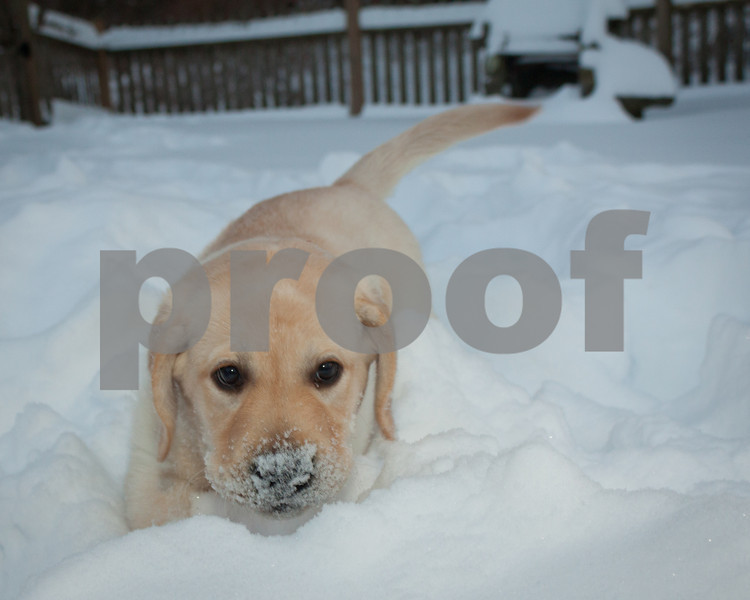 Snow Discovery - Bogart the lab puppy plays in the deep snow.