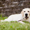 Bogart - Another photo shoot with my friend's yellow lab.