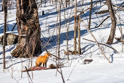 renard  carcasse scavenger