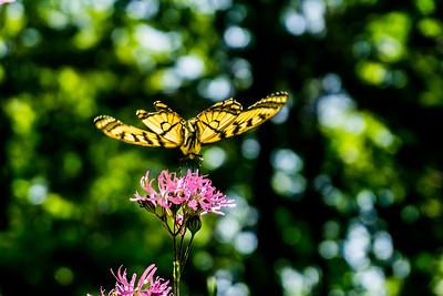 papillion  fleurs jaunes  fleurs mauves