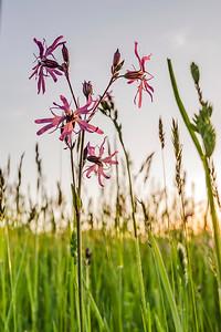 fleurs mauves Lychnide fleur-de-coucou Silene flos-cuculi Ragged-robin