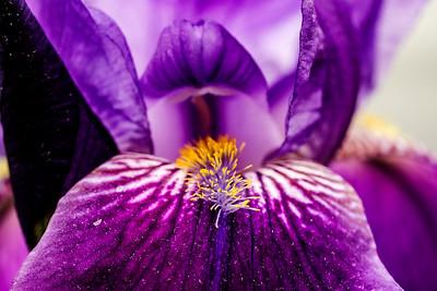 iris versicolore (Iris versicolor)