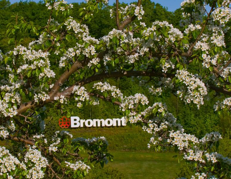 Bromont <br /> fleurs de pommiers sauvages