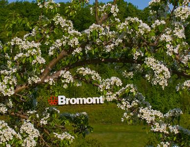 Bromont  fleurs de pommiers sauvages