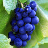 Pinot Noir Grapes<br /> Napa