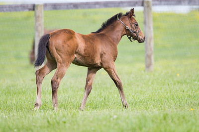 Mastery - Tuscan Sunset filly at Dromoland 5.09.19