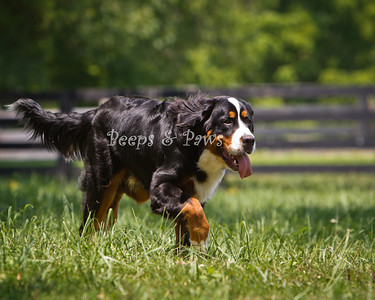 Aubrey - a 9 month old Burmese Mountain dog who is owned by sculptor Alexa King