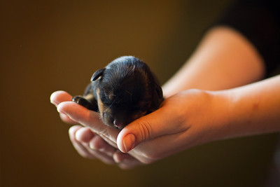 A newborn (only a few hours old) Rottweiler.