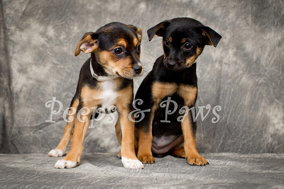 Rebekah and Mary Ann - 8 week old litter mates who are believed to be terrier mixes.