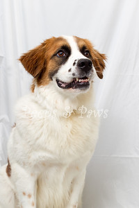 Grizzly is a 6.5 yrs old St. Bernard mix who has completed obedience training.  He is beautiful and friendly with people but not so much with other animals.  He's looking for his forever home at the Lexington Humane Society.