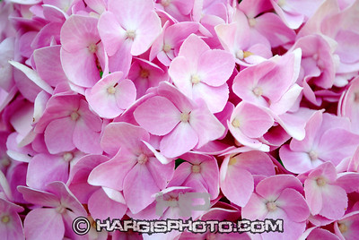 Hargis Photography-Pretty In Pink