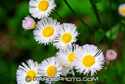 Hargis Photography-Crazy Daisies Rowan County, Morehead, KY