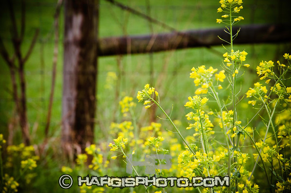 """5597 """"Old Yeller""""  Franklin County, KY (C) 2012, Hargis Photography, All Rights Reserved, www.dmhargisphotography.com"""