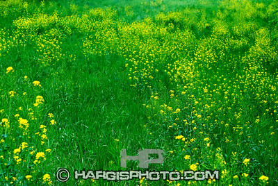 Hargis Photography-Field of Gold Rowan County, Morehead, KY