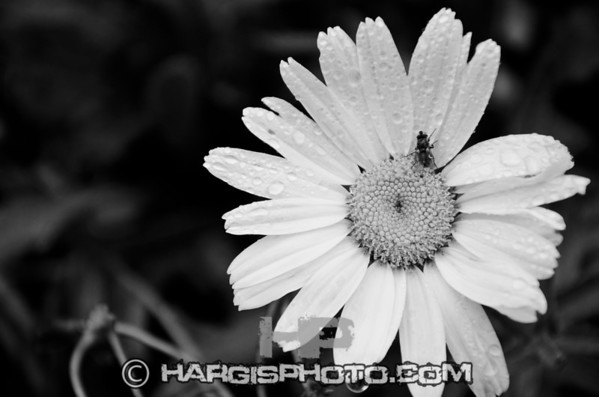 """9558 """"Quit Bugging Me"""" Daisy, Frankfort, KY(C) 2012, Hargis Photography, All Rights Reserved, www.dmhargisphotography.com"""