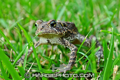 Hargis Photography-I Toad You So