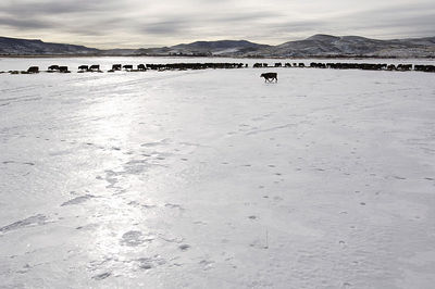 "Frozen ground presents a substantial hazard to cattle in Winter.  Poor traction on the slippery surface commonly leads to cows ""splitting themselves""."