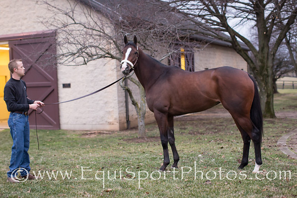 In Lingerie beginning her trip from Lexington Kentucky to England to be bred to Frankel.