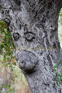 "I love spotting ""personification"" in nature.  This one reminds me of a koala."