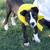 Strut for the Mutts 2012 : The Haven's 8th annual Strut for the Mutts A portion of the proceeds of photo sales will go to The Haven. Dogs with a yellow bandana are available for adoption. If you are interested in donating or adopting please visit their website for more information http://www.havenacs.org/ The Haven could also use the following items: leashes and collars, canned and dry dog and cat food, dog and cat brushes, cat litter and litter boxes, mops and brooms, laundry detergent and bleach, all purpose cleaner, paper towels, hand sanitizer, blankets/towels/linens