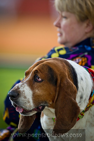 Rosie the Basset Hound at Bark In The Park