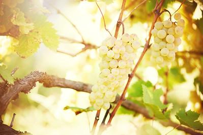 Green grape on vineyard