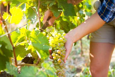 Grape harvesting in a vineyard in Kakheti region, Georgia. Woman's hands Close up.