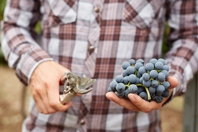 Farmers hand with freshly harvested blue grapes.