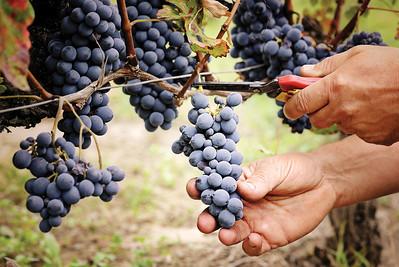 cutting ripe grape