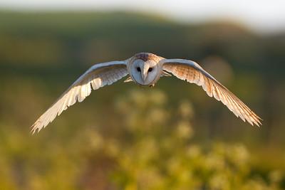 Barn Owl flying head on