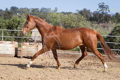Tough and Naughty, Thoroughbred mare. DOB: May 4th 1993, Reg JC. Agitate x Naughty Netta.