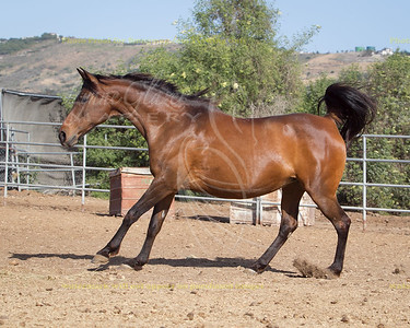 Flo-Rita (Keen Edge x SH Wiktorie), Arabian mare.
