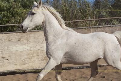 "Knight Heir (""Viking"") by Knight Ranger x Asara. 1996 Arabian gelding."