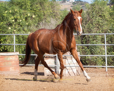 Tough and Naughty, Thoroughbred mare. DOB: May 4th 1993, Reg JC. Agitate x Naughty Netta.
