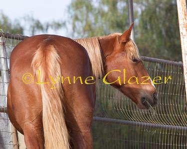 Belgian cross gelding--available