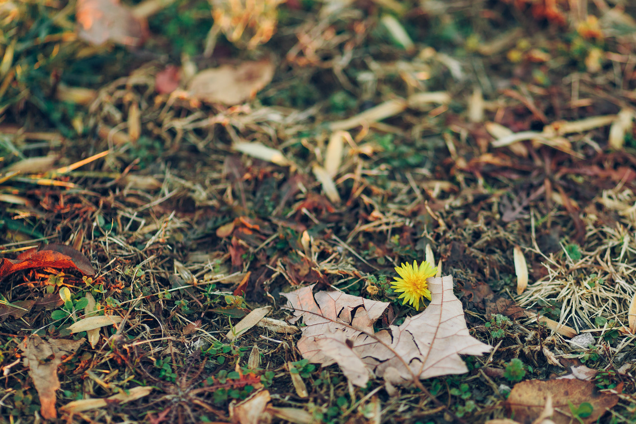 The first dandelion of spring 2014.