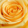 E4501<br /> <br /> Yellow Rose Close Up