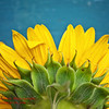 9526<br /> <br /> Sunflower Backside