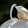 "June 26, 2014: A magnolia in honor of Bob's birthday.<br /> more: <a href=""http://lbokesch.smugmug.com/Places/Monarch-Bay/"">http://lbokesch.smugmug.com/Places/Monarch-Bay/</a>"
