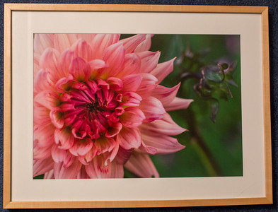 Dahlia #3: 19x25 Framed size with glass $50 (does not include sales tax or shipping).