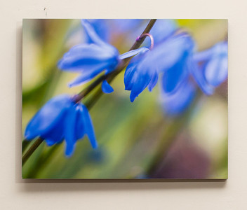 "SALE DETAILS:   11x14 Standout Mounted Print (1/2"" deep)                             $25 (does not include sales tax or shipping).  Original price: $75  IMAGE DETAILS:  041807-021 Scilla"