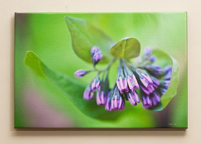 "SALE DETAILS:   16x24 Gallery Wrapped Canvas (1 1/2"" deep)                             $75 (does not include sales tax or shipping).  Original price: $225  IMAGE DETAILS: 20100411-015 Virginia Bluebell"